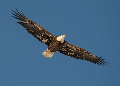 Free stock photo of animal, bald, bald eagle