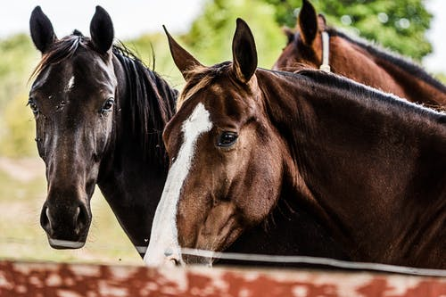 Close-Up Photo of Black and Brown Horses