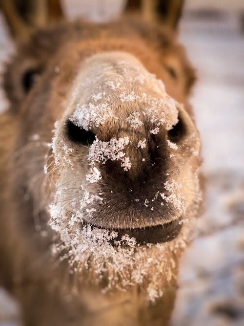 Close-Up Shot of a Donkey's Snout with Snow