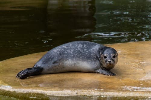 A Black Seal in a Zoo