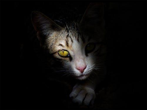 Ilmainen kuvapankkikuva tunnisteilla eläimet, keltaiset silmät, kissa