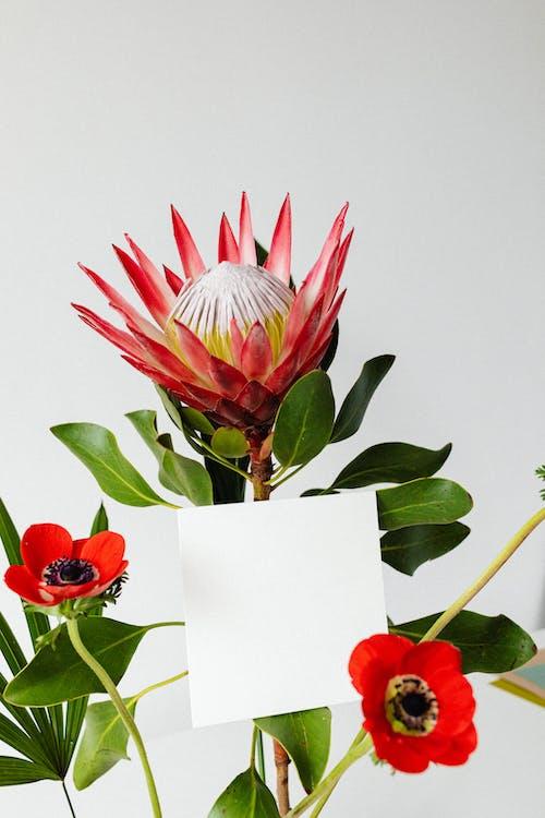Immagine gratuita di colpo del primo piano, fiori rossi, foglie verdi