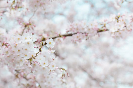 1000 interesting cherry blossom photos pexels free stock photos white petaled flowers mightylinksfo