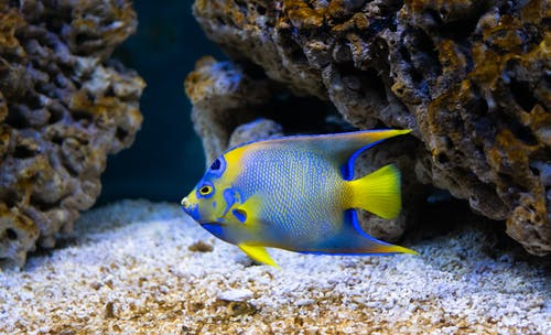 Yellow and Blue Fish on Brown Coral Reef