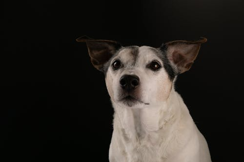 White and Brown Jack Russell Terrier