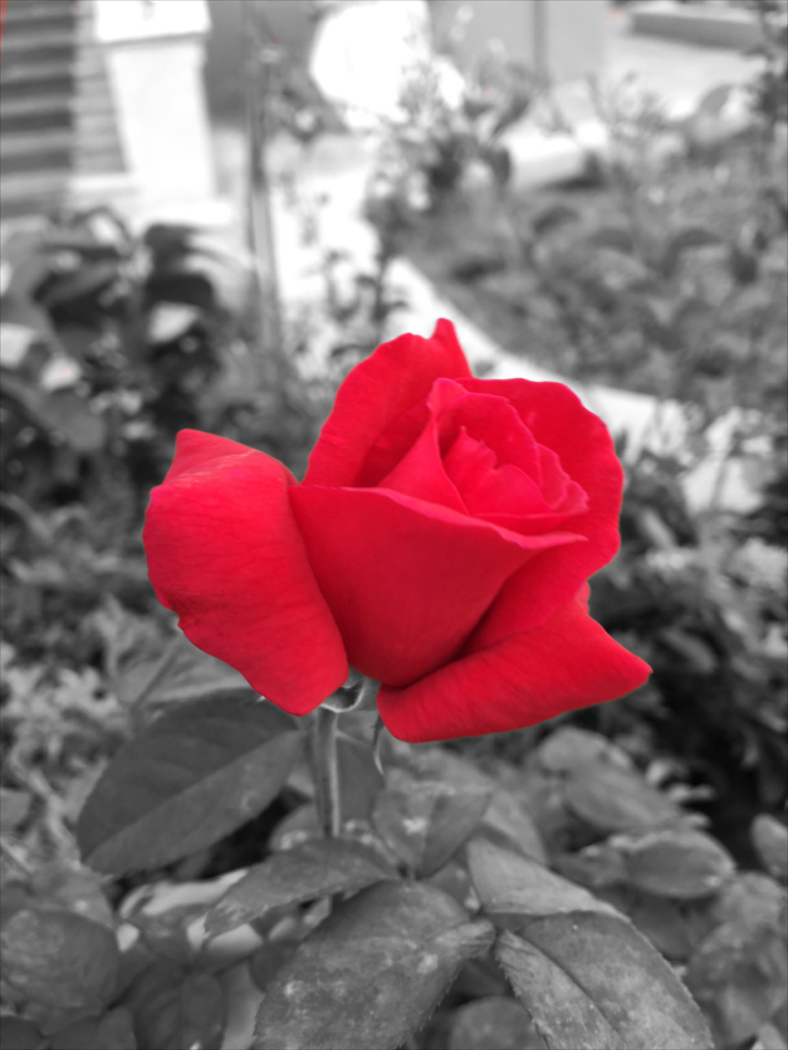 Kostenloses Stock Foto zu halsband, rose, rot, rote rose