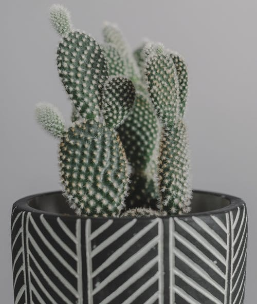Green Cactus in Black and White Striped Pot