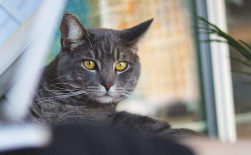 Close Up Shot of Gray Cat