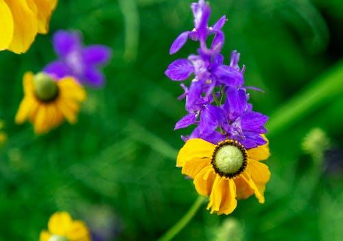 Free stock photo of flower, green, sunflower