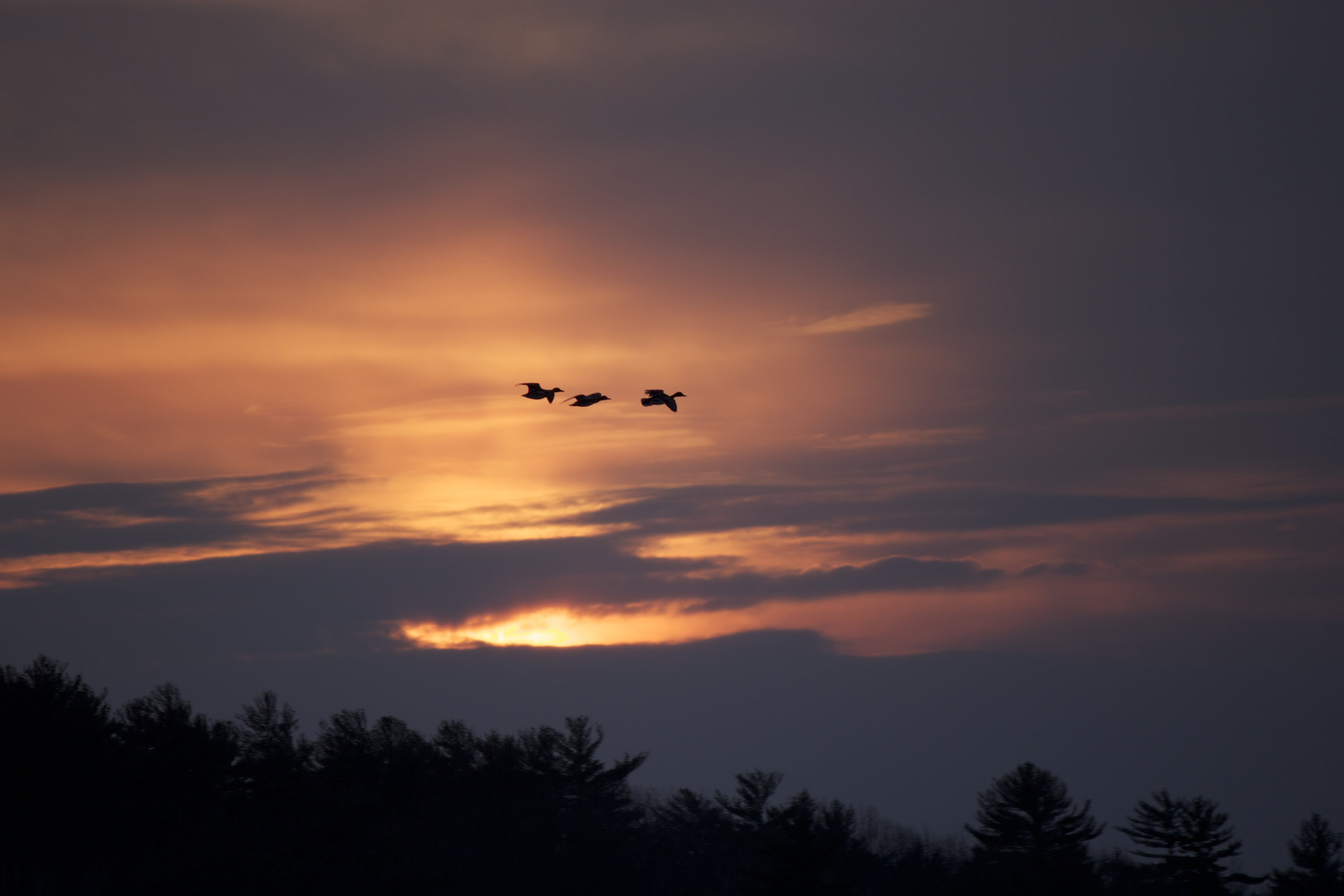 Free stock photo of birds, clouds, sunset, trees