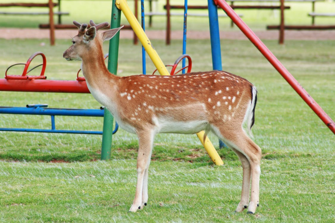 Free stock photo of animal, buck, deer