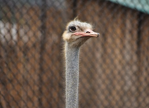 Black and Brown Ostrich Head