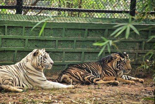Free stock photo of animal, bengal tiger, big