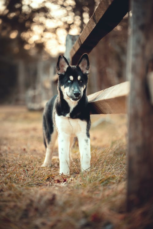 Black and White Siberian Husky Puppy on Brown Wooden Bench