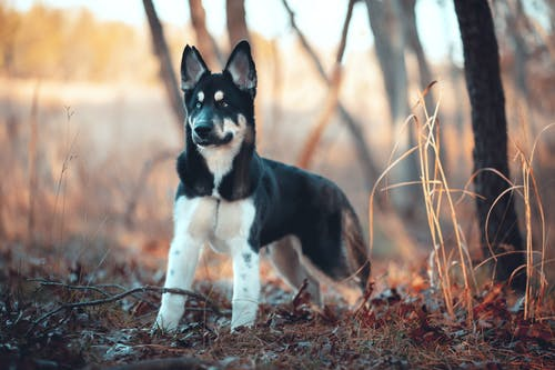 Black and White Short Coated Dog on Brown Dried Leaves