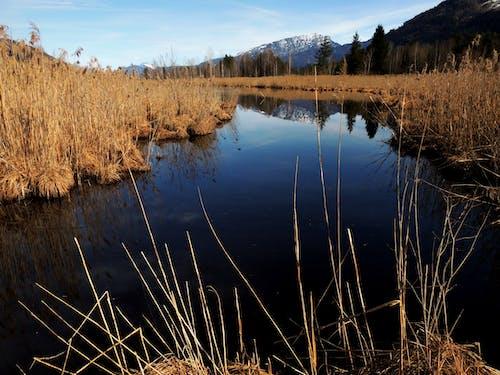 Free stock photo of bog, reed, riverside