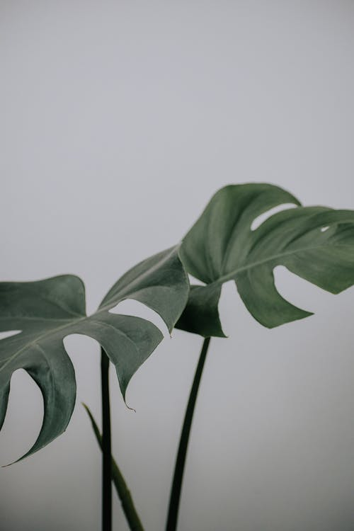 Tropical flowering plant with thin stalks and lush wavy green foliage growing on light background
