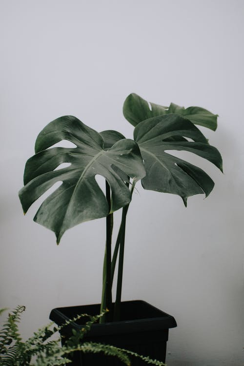 Tropical plant with thin stems and large foliage in pot against sword fern on light background