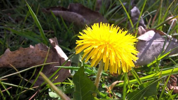 Free stock photo of flower, dandelion