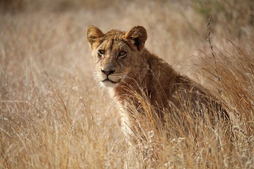 Photo of a Lioness on a Dry Grass Field