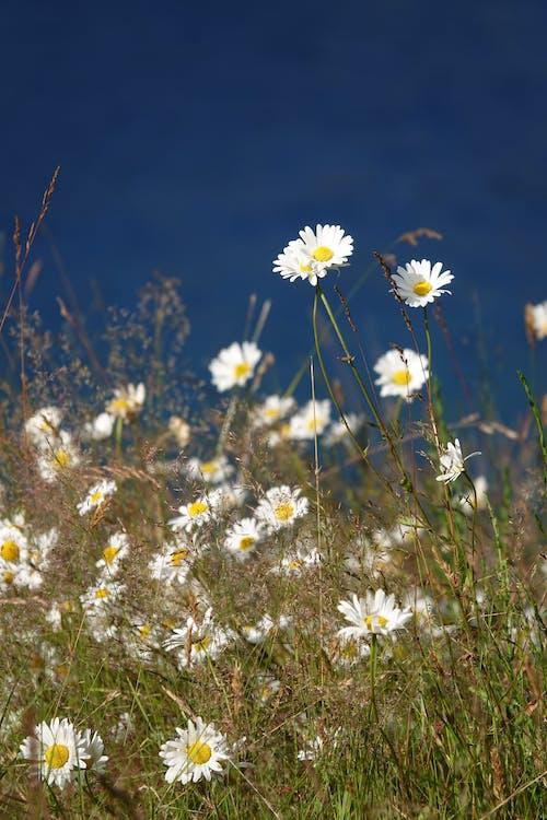 Free stock photo of daisy, wild flowers