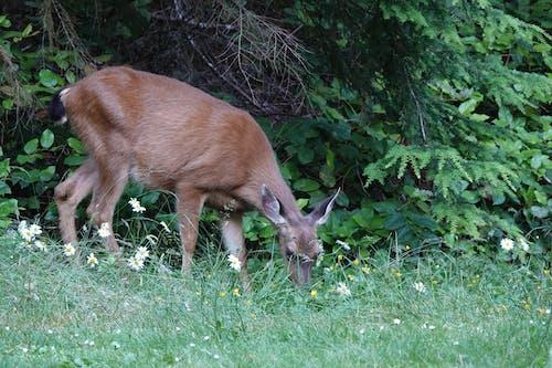 Free stock photo of deer