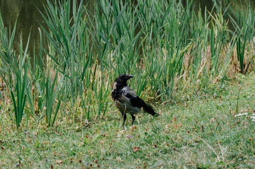 Photo of a Black Crow on the Grass