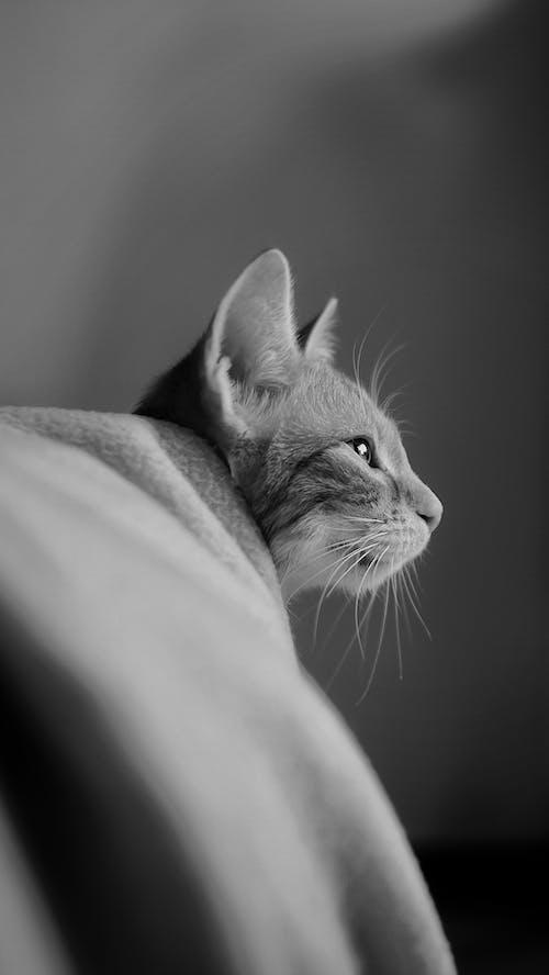 グレースケール, クローズアップショット, ネコの無料の写真素材