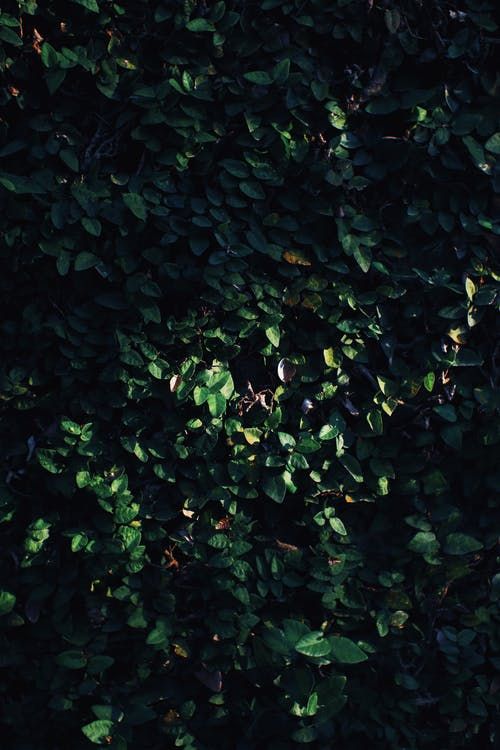 Full frame textured background of hedge with verdant lush foliage growing in nature