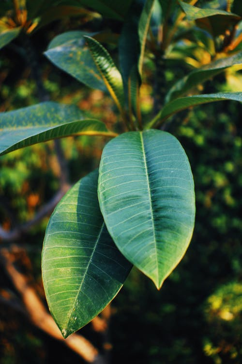 From above of verdant leaves of Ficus elastica with veins growing among plants in sunlight
