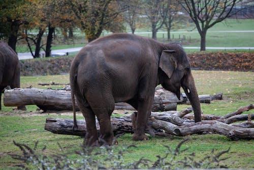 Immagine gratuita di alberi, animale, elefanti