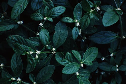 Full frame background of lush aquatic plant Alternanthera sessilis with thin blooming flowers