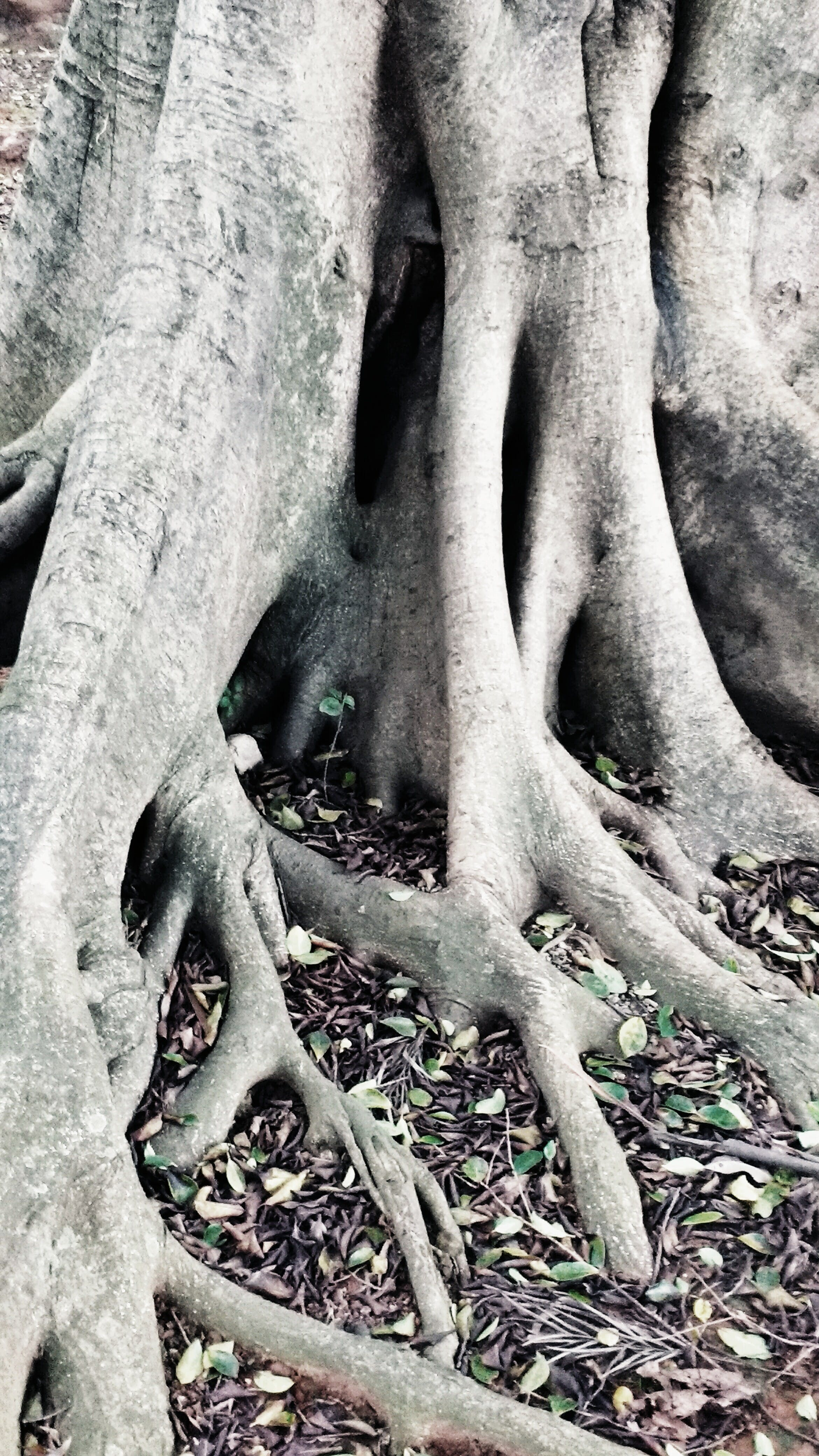 Free stock photo of trunks, roots