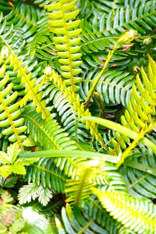 Free stock photo of ferns