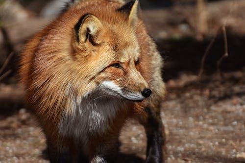 Free stock photo of animal, canine, cub