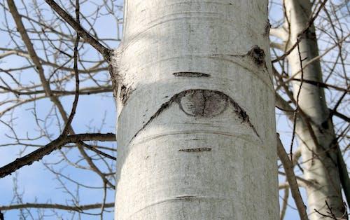 Free stock photo of birch, eye, mothernature