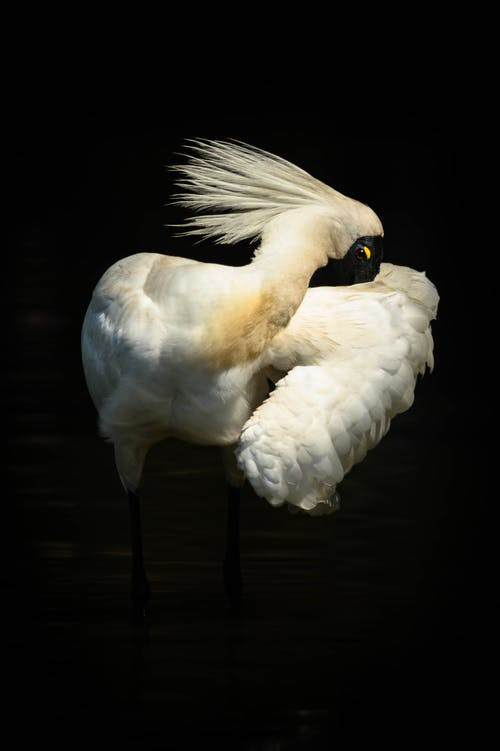 Free stock photo of spoonbill coy