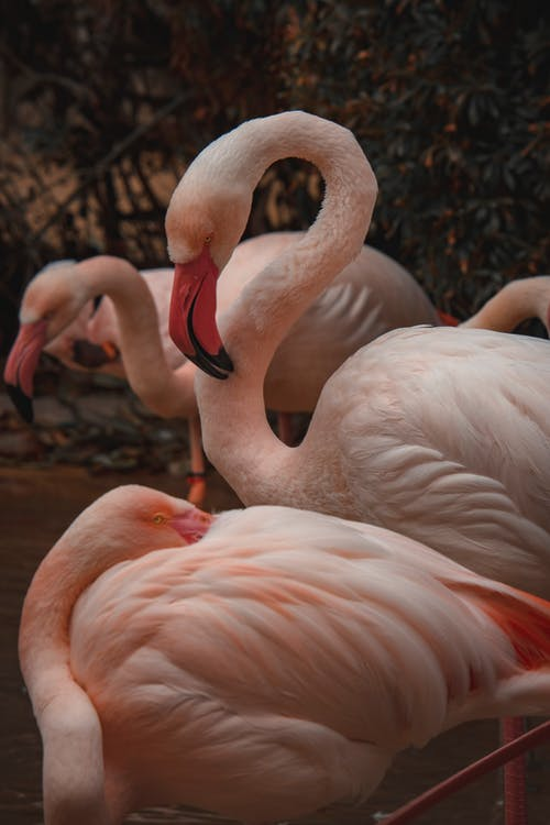 Pink Flamingos on Body of Water