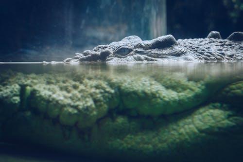 Free stock photo of croc