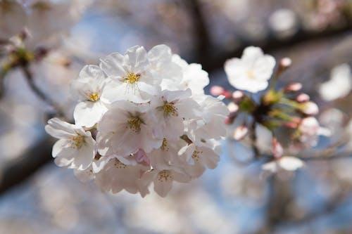 Foto stok gratis bunga, bunga sakura, bunga-bunga indah, hanami