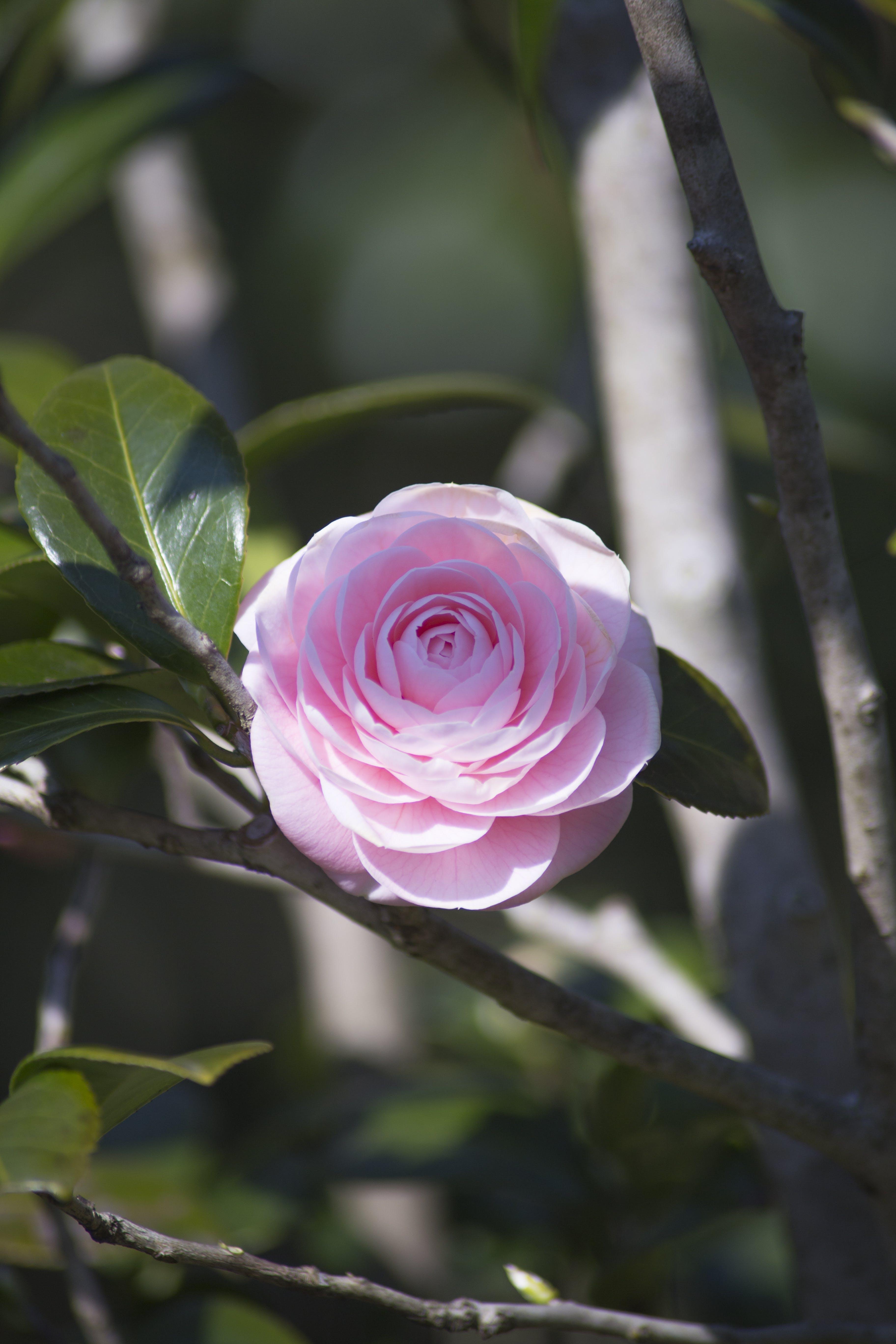bitki, camelia, çiçek, güzel çiçekler içeren Ücretsiz stok fotoğraf