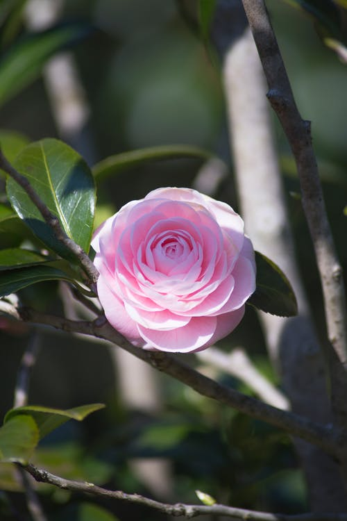 Free stock photo of beautiful flowers, camelia, flower, plant