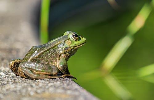 Green Frog on Brown Wood