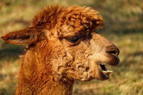 Brown Llama in Close Up Photography