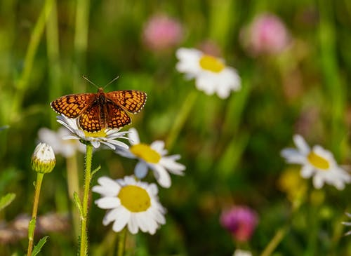 Free stock photo of bright, butterfly, chamomile