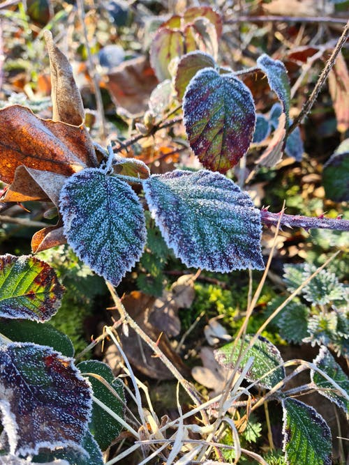 Free stock photo of early morning, frost, frost on leaves
