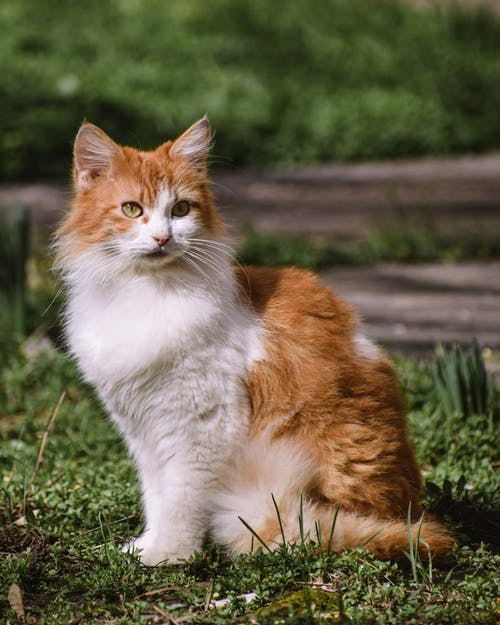Attentive cat with brown and white coat looking away while sitting on grass in summer