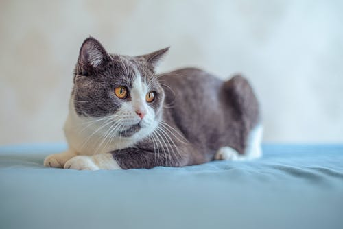 Základová fotografie zdarma na téma kočka, kočkovití, položení