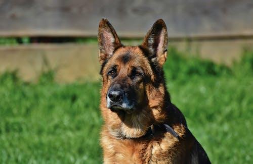 Бесплатное стоковое фото с большая собака, животное, коричневая собака