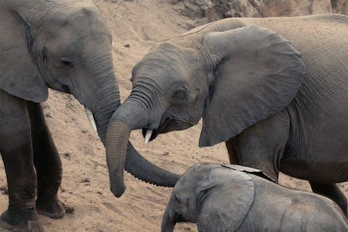 Grey Elephant Walking on Brown Sand